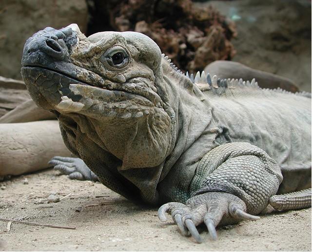 04022734ied Rhinoceros Iguana by Erich Mangl Rhinoceros Iguana   What is Rhinoceros Iguana?