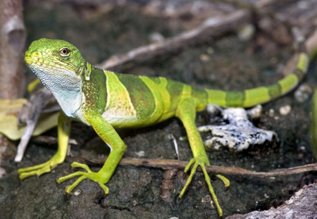 080922 new iguana big Names for a digital pet iguana?