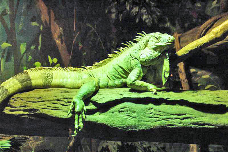 14GreenIguana What You Need To Know About Iguanas Ecology