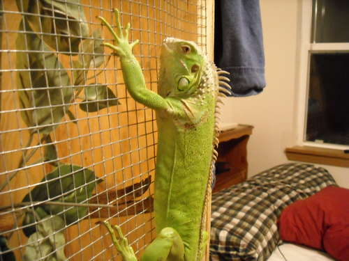 Basic Care Instructions for the Green Iguana Green Iguana   How to Take Care of a Green Iguana?