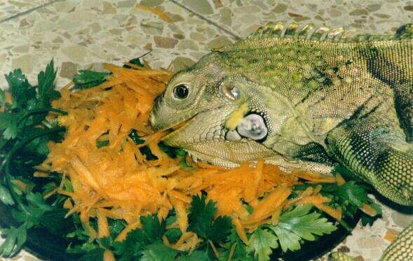 George06 Fat Iguana   The importance of proper nutrition for your iguana