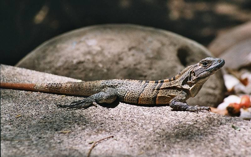 animals iguana female01 Iguanas   Interesting Facts about Iguanas