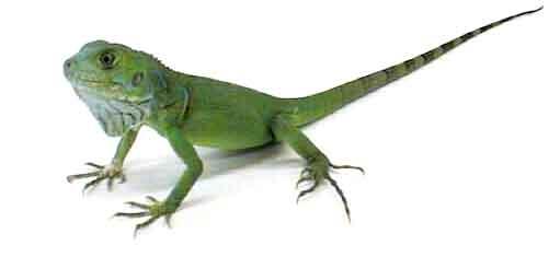 babyiguna Baby Green Iguana   Interesting Informations About The Baby Green Iguana