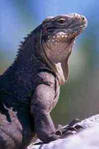 ecology Iguanas Ecology   What You Need to Know about Iguana Ecology?