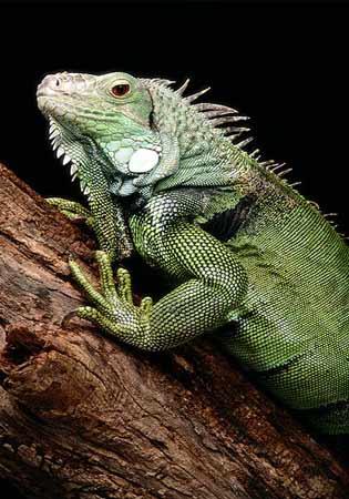 green iguana Green Iguana – Taking care of the gentle giant