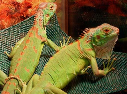 green iguana2somea what does it mean when my baby pet iguana gets black spots on its head?