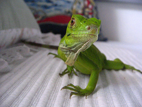 health iguana pet Iguana Health   Health is also the Wealth of Your Pet Iguana