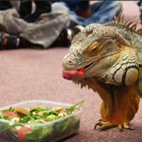 healthy Iguana1   How to Pick a Healthy Iguana?