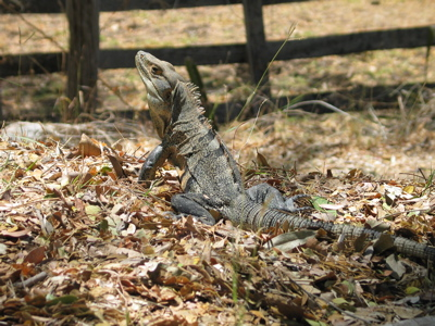 hot Iguana Cantina   Some Vital Considerations Posed on the Care for Iguana Cantina