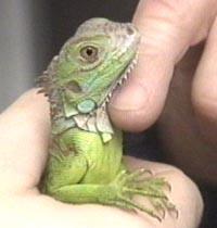 iguana care Iguana Care   The Basics of Iguana Care