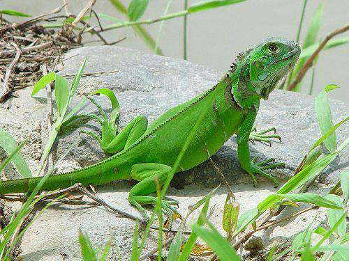 iguana How stressful are iguanas as pets?
