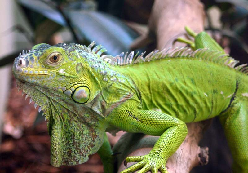 iguana1 Green Iguana – The Pet For Your Home