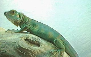 iguanapic Facts about Iguanas   Things You Need To Know