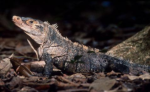 lizards Iguana Lizards   Where to Find Information about Iguanas and Lizards