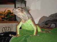 new A Society that Cares: The Green Iguana Society