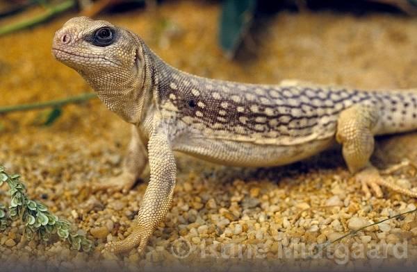 oDesert iguana 21 Desert Iguanas   Some Facts about the Desert Iguana