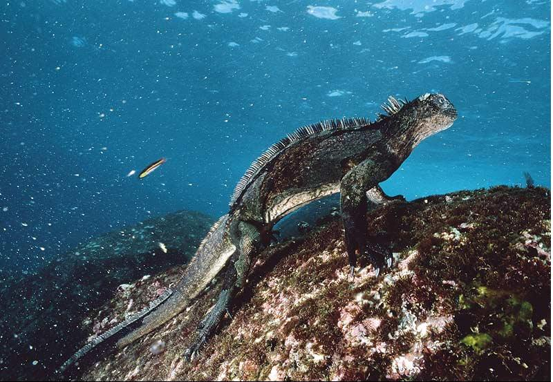 pic Marine Iguana Pictures: They are all over the Net
