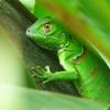 tips Iguanas Lizards Photos   Proper Iguana Care Tips